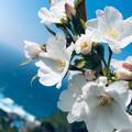 桜39796